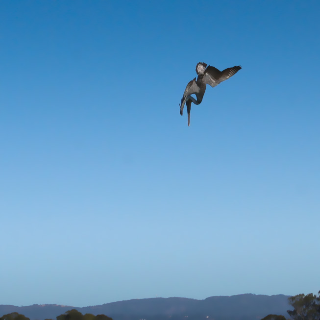 Photo: Heron, mid-dive
